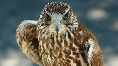 Hawk Falcon Birds Wallpapers Bird Animal Stunning