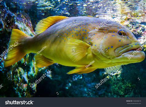 grouper fish pet spotted tank shutterstock