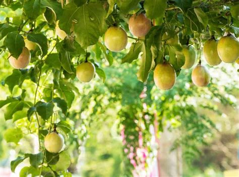Maracuyá o Fruta de la Pasión - Frutas y Verduras