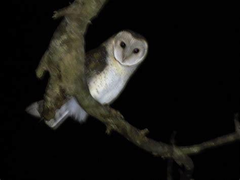 barn owl  zealand birds
