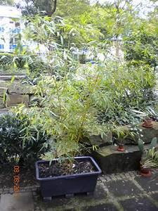 Welche Erde Für Palmen : palmen und co bambus im m rtelk bel ~ Watch28wear.com Haus und Dekorationen