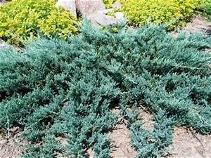 37 best Juniperus images on Pinterest | Fall season, Front ...