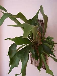 Pflanzen Für Gesundes Raumklima : geweihfarn begr nung zimmer pflanze bl hend succulent und bonsai pinterest geweihfarn ~ Indierocktalk.com Haus und Dekorationen