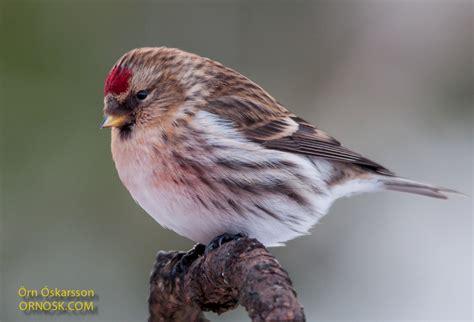 krossnefur ornosk birds landscape weather