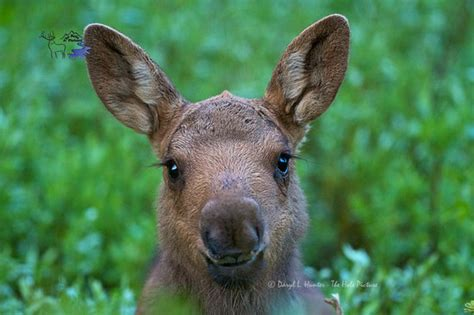 Baby Moose, Yellowstone National Park. This Baby Is About