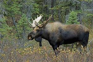 Moose Alces Alces In A Forest Alberta Photograph by