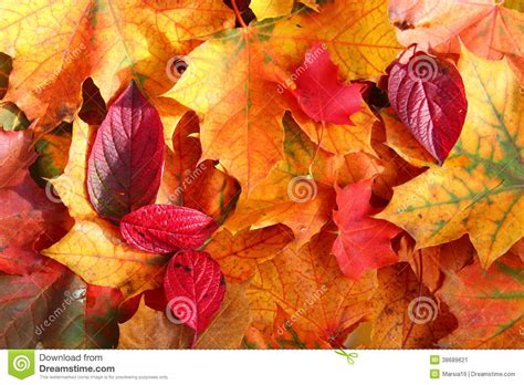 autumn leaves  sunlight stock image image  brown