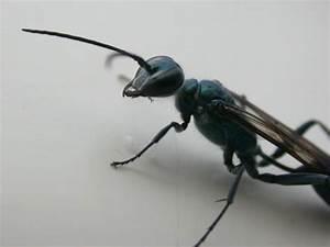 Schwarze Wespe Deutschland : artenschutz insekten fotos wespen smaragd wespe ~ Whattoseeinmadrid.com Haus und Dekorationen