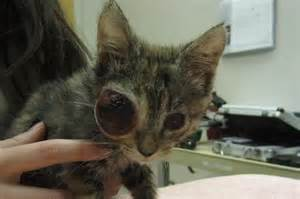 eye infections in cats kitten at the local rescue place with the nastiest eye