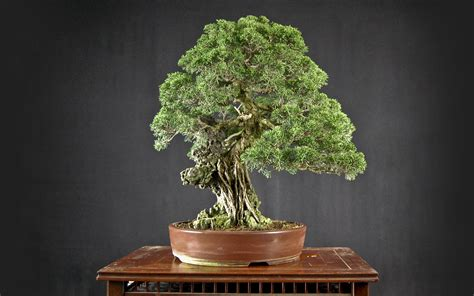 bonsai wallpaper  wallpoper