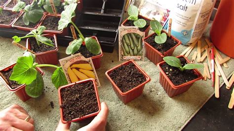 zucchini seed indoors start squash garden gary pilarchik seeds warm weather starting vegetable gardening