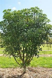 Houpara  Pseudopanax Lessonii   U2013 Takana Native Trees