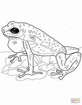 Frog Poison Dart Coloring Strawberry Pages Frogs Coqui Drawing Realistic Printable Supercoloring Getdrawings Crafts sketch template