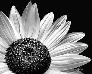Black and White Sunflower | Janet Sipl | Flickr
