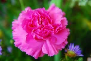 lamborghini diablo svr carnation spain national flower desktop backgrounds