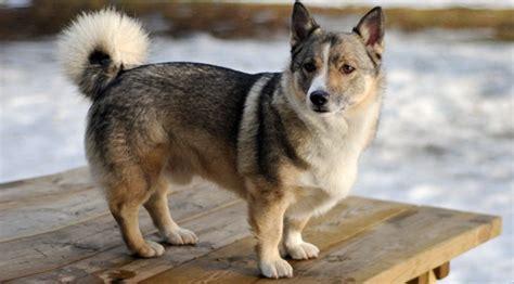 wolf corgi puppy meet the super rare breed that s basically a wolf corgi rover com