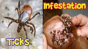 Ticks Infestation Ticks In Humans And Animals YouTube