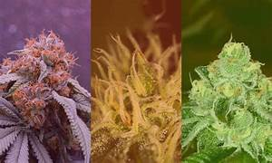 Sativa Vs  Indica Vs  Hybrid  What U2019s The Difference