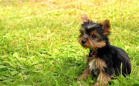 Barfen Yorkshire Terrier