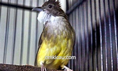 Tips Menggacorkan Burung Cucak Jenggot Bakalan