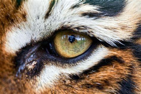 tiger eye wbcw89 bengal tiger eye macro detail slides img 8732 jpg