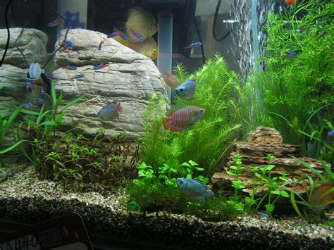 Aquascaping Planted Tank by My Fresh Water Aquarium Planted Tank Walstad