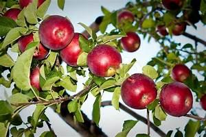 Red Apples In Apple Trees Against Blue Sky