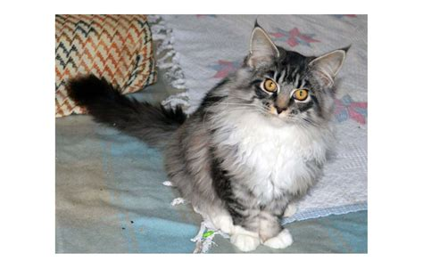 Cats Breeders by Maine Coon Breeders Australia Maine Coon Info Kittens