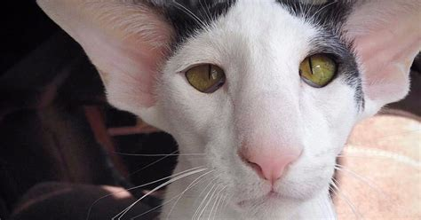 Meet The Cat Who Looks Just Like Dobby From Harry Potter