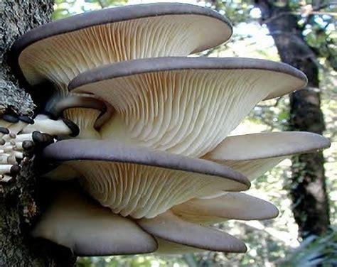 cuisiner pleurotes grises les pleurotes champignons