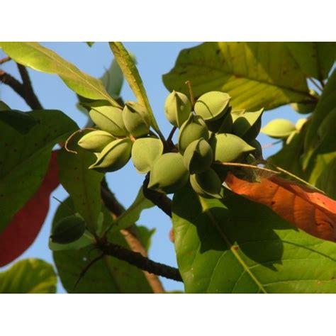 Saldo mandeļu eļļa (Prunus amygdalus var. dulcis)