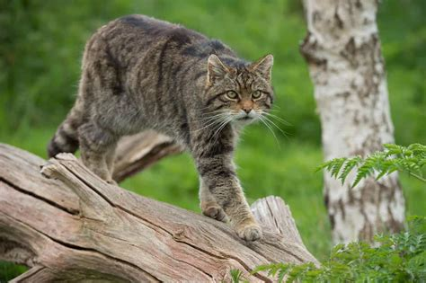 wild cat population grows   netherlands