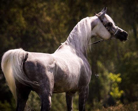 arabian horse  sale wixcom