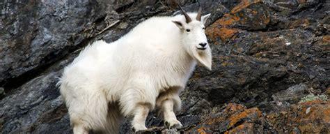 goat symbolism goat meaning goat totem goat dream messages