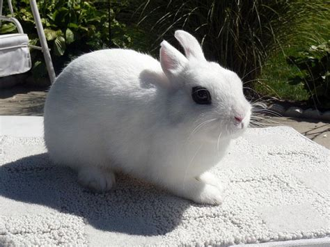 rabbit breeds dwarf hotot rabbits usa rabbit breeders