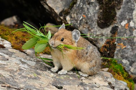 This Is The First Lli Pika Seen In 20 Years It Was