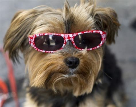 25 Extremely Cool Dogs with Sunglasses   Snappy Pixels