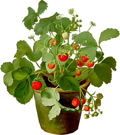 fraisier en pot dessin