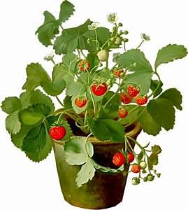Plant De Fraise : fruits fraises ~ Premium-room.com Idées de Décoration