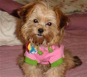 Silky Tzu (Shih Tzu X Silky Terrier Mix) Dog Info ...