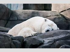 Tired Polar Bear One of the polar bears at Hagenbecks