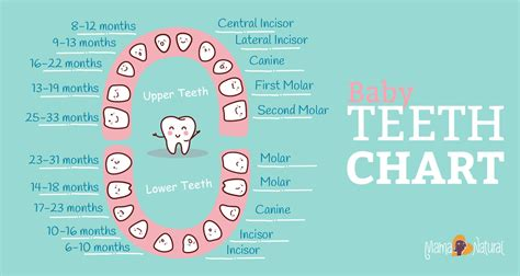 Baby Teeth Chart What Order Do They Come In Mama Natural