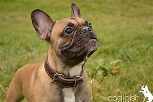 Hundebekleidung Französische Bulldogge : fotogalerie franz sische bulldogge doggish hundetraining ~ Frokenaadalensverden.com Haus und Dekorationen