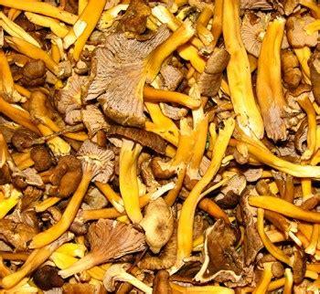 cuisiner les chanterelles grises chanterelles grises cantharellus tubiformis