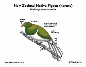 Kereru  New Zealand Native Pigeon