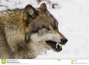 Wolf Growl Profile | www.pixshark.com - Images Galleries ...