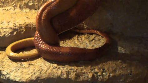 kornnattern schlangen vor der paarung wwwkornifansde