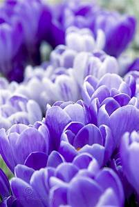 17 Best images about Flowers ~ Crocus on Pinterest