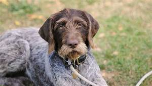 German Wirehaired Pointer - SpockTheDog.com