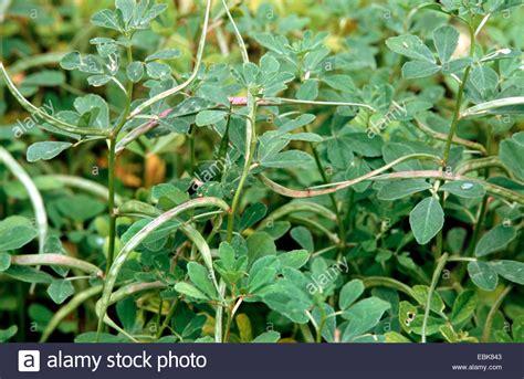 Fenugreek Medical Plant Medical Plants Medicinal Plant